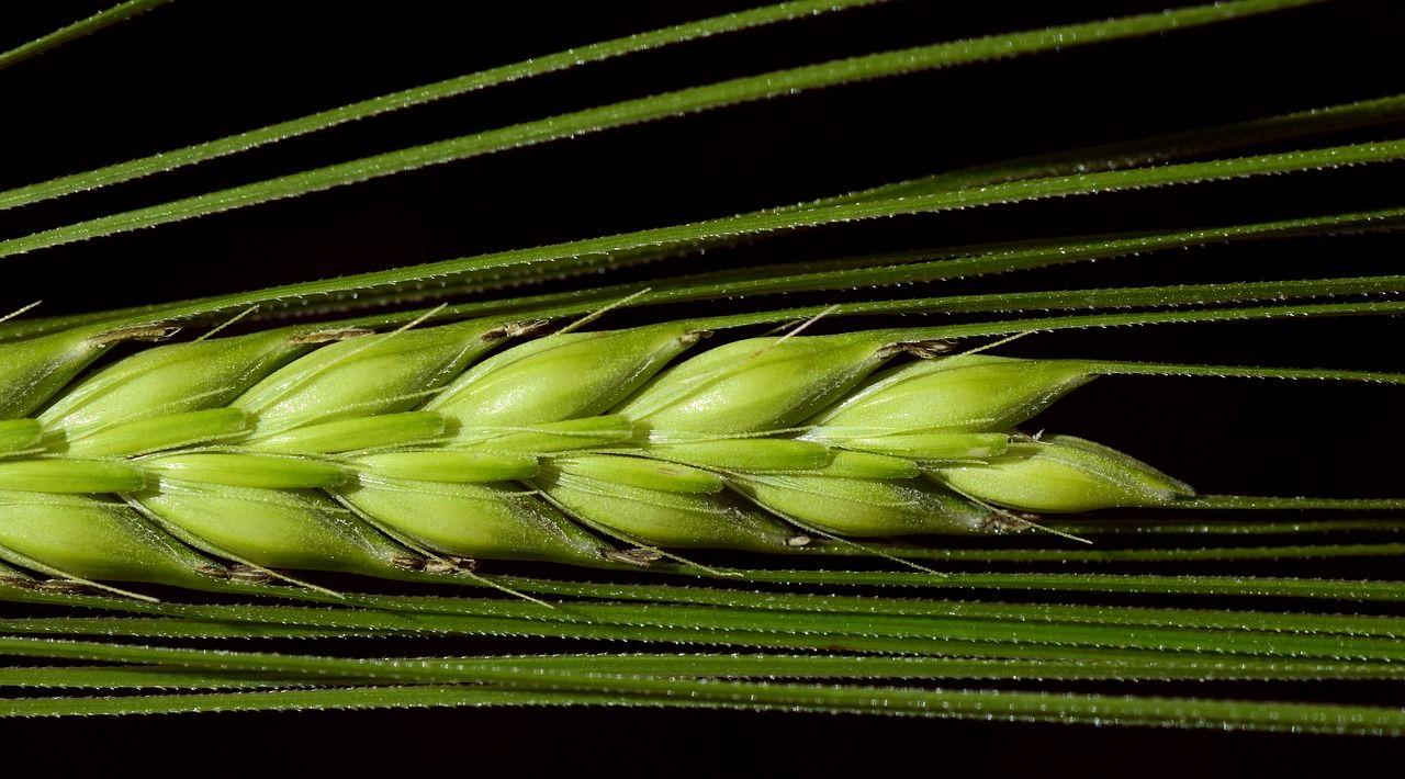 Zelený jačmeň – detoxikuje, pomáha a čistí telo